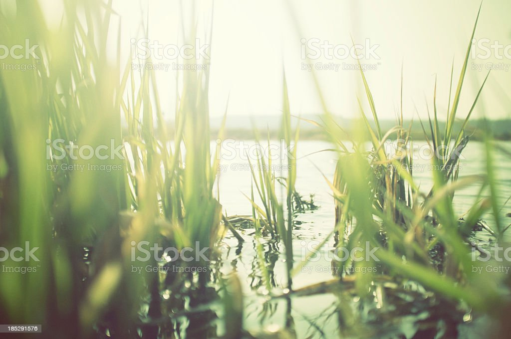Green reeds at the water with sun shining stock photo
