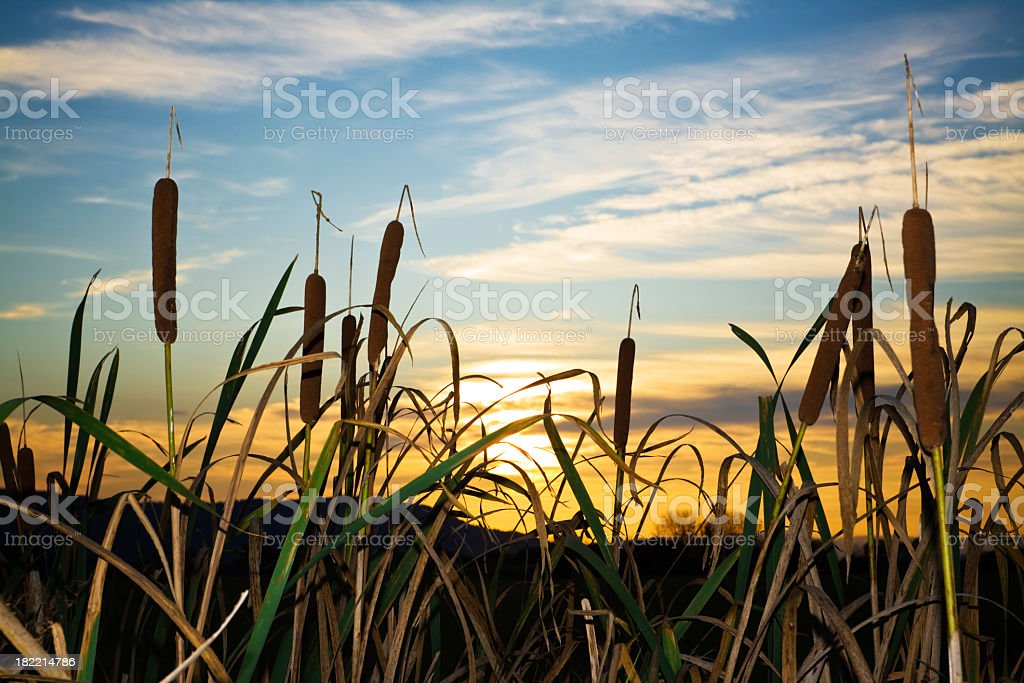 Green reeds in a swamp at sunset stock photo