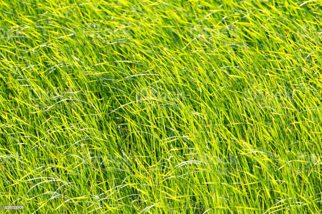 green reeds in nature stock photo