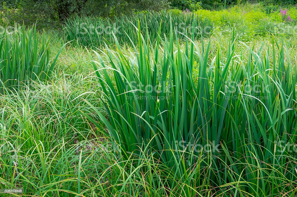 green reeds in the swamp stock photo
