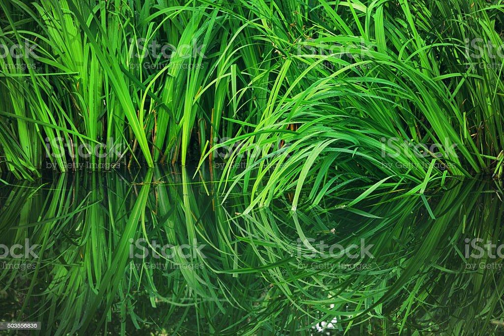 Green Reeds in Water's Edge, Longos forest, Ingeada, Kirklareli, Turkey stock photo