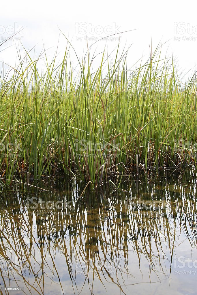 green reeds royalty-free stock photo