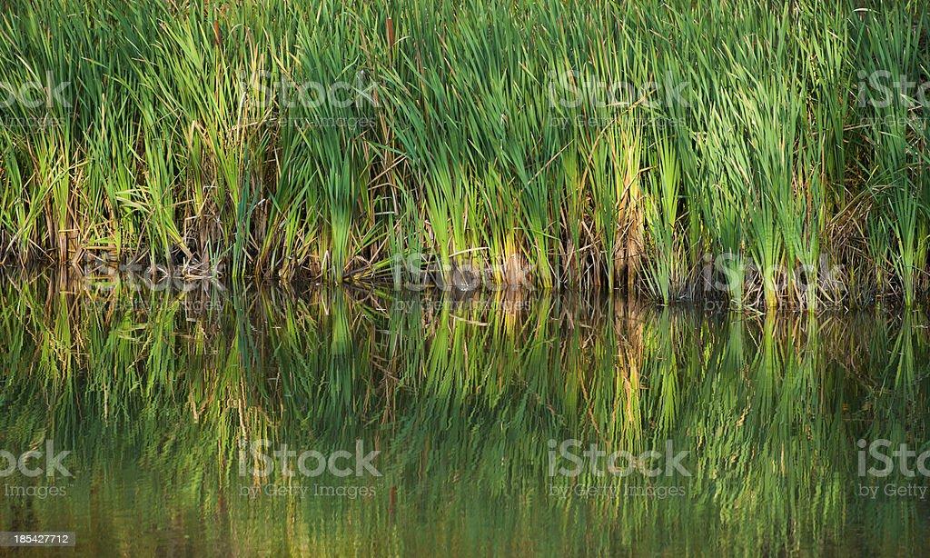 green reeds stock photo