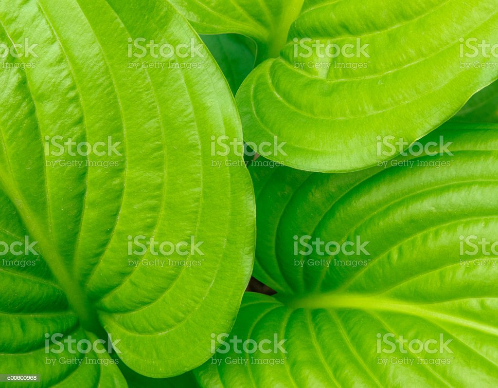 Green ribbed hosta leaves background stock photo