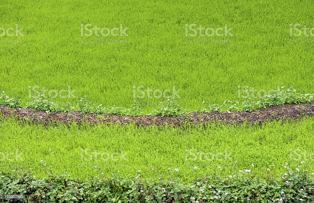 Green Rice and Buchwheat in Fields of Sikkim India Asia royalty-free stock photo