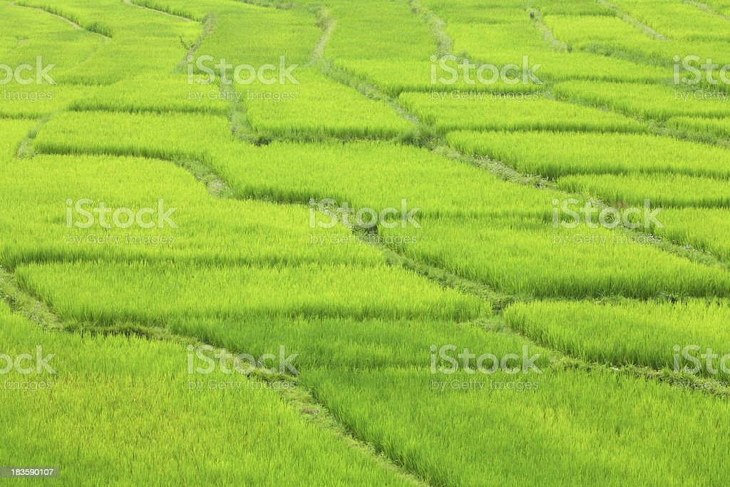 green rice farm in Thailand royalty-free stock photo