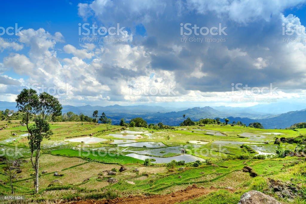 Green rice field  in Tana Toraja stock photo