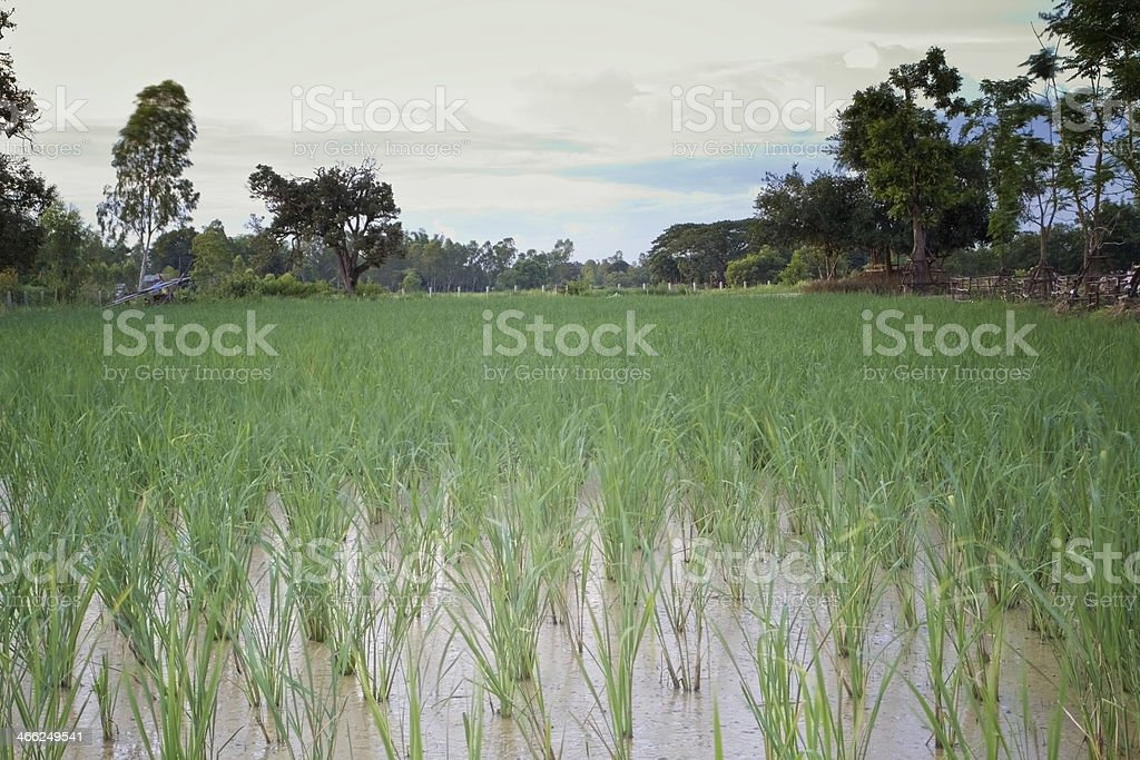 green rice field in thailand royalty-free stock photo