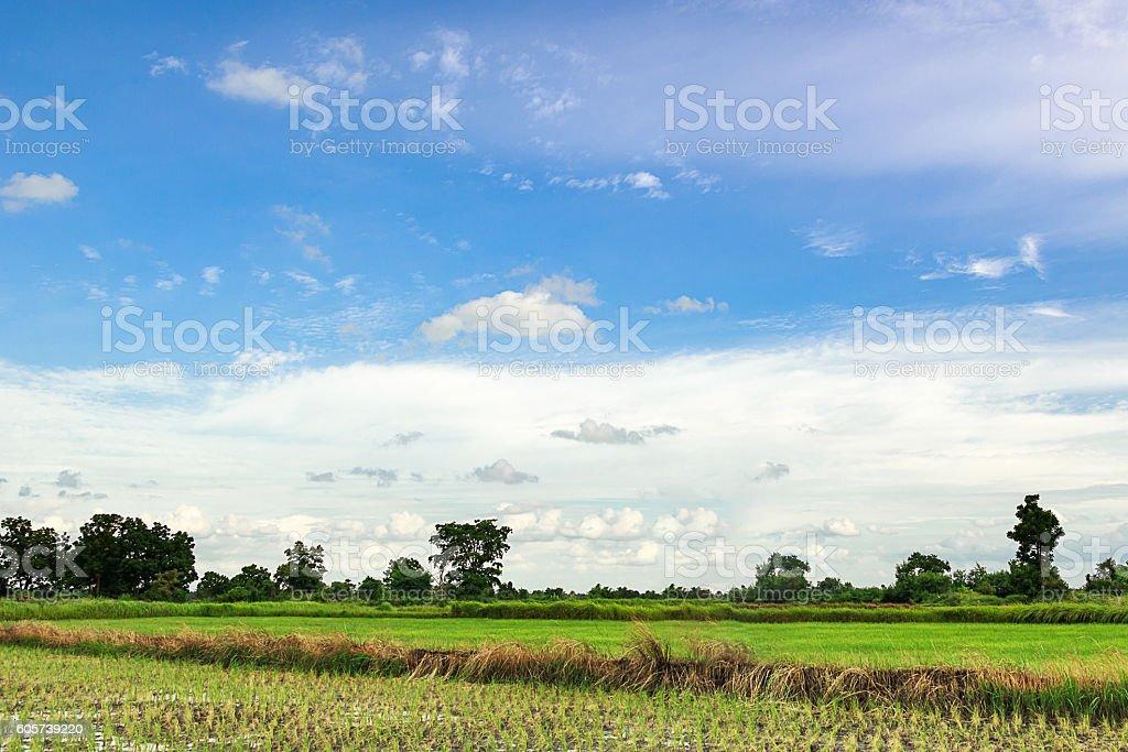 Green Rice Field inThailand stock photo