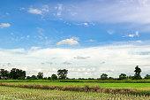 Green Rice Field inThailand