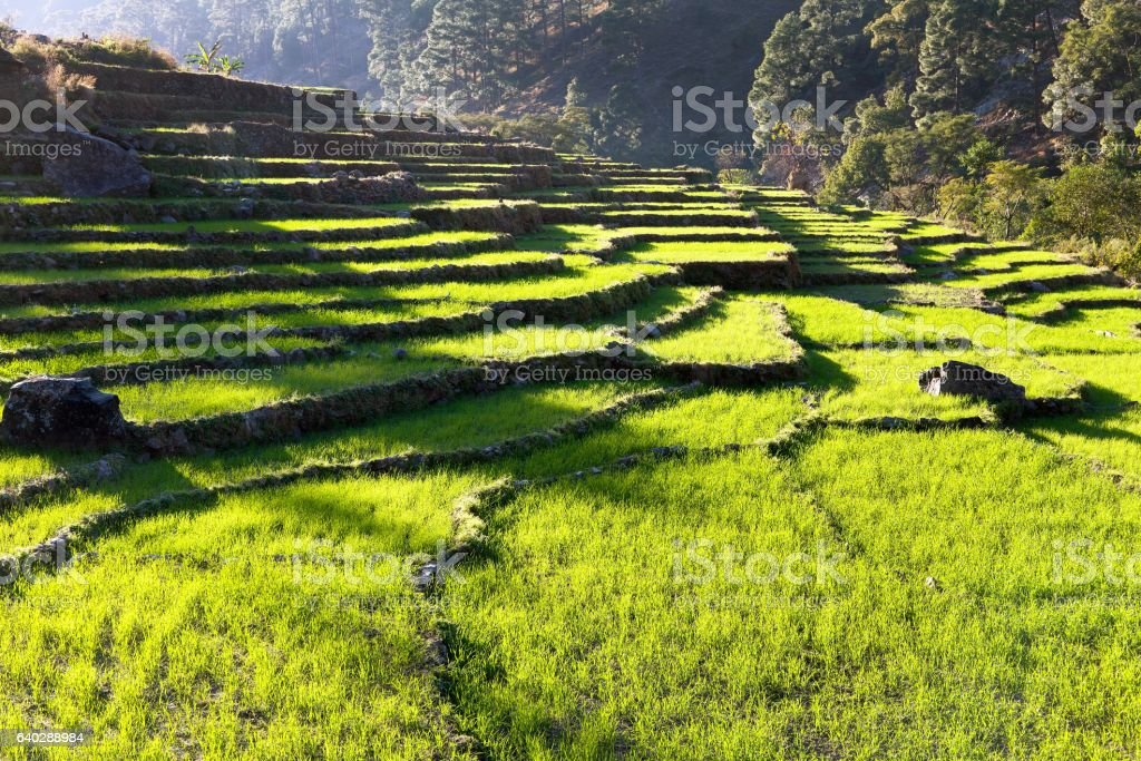 green rice field or paddy field in Nepal stock photo