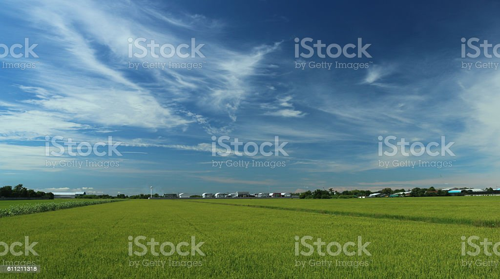 Green rice field with blue sky background in countryside stock photo
