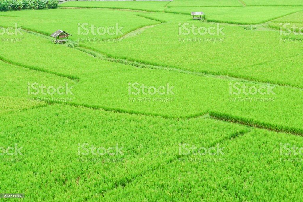 green rice field with small hut in rainy season stock photo