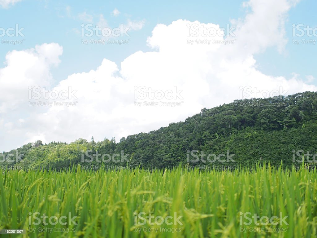 Green rice fields in Japan stock photo
