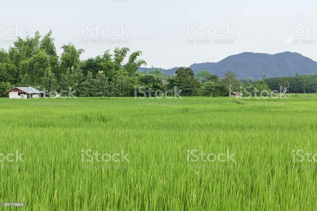 Green rice fields of Thailand. stock photo