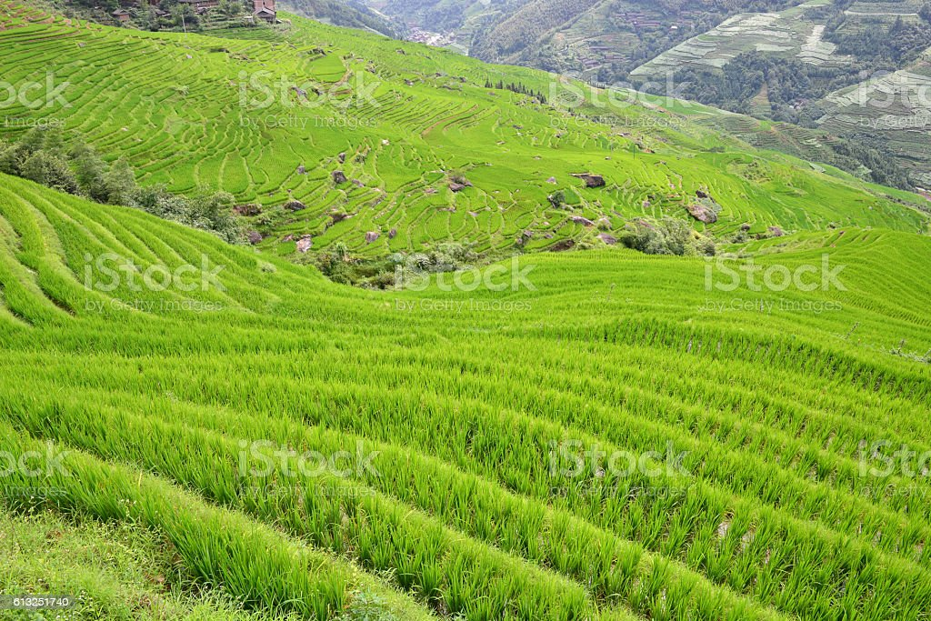 green Rice fields on terraced in in the mountain stock photo