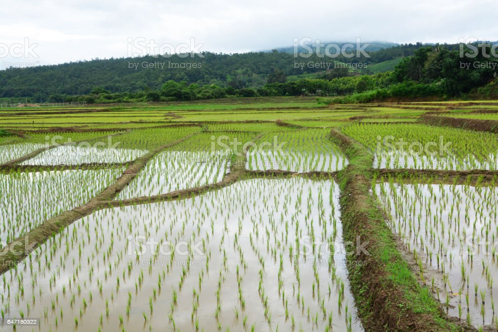 Green Rice fields on terraced of  Mae Chaem stock photo