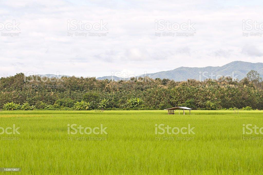 Ryż zielony pola zbiór zdjęć royalty-free