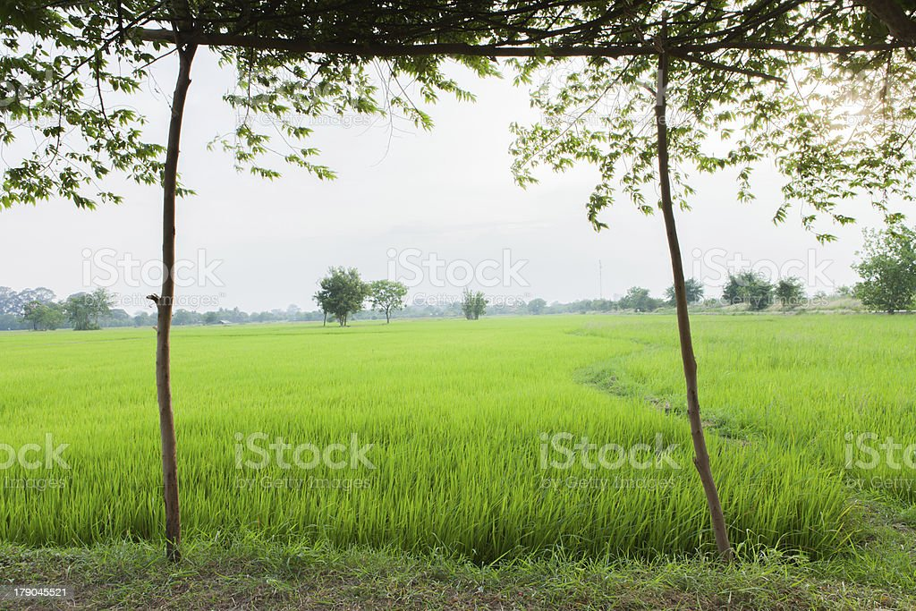 Green rice fields royalty-free stock photo