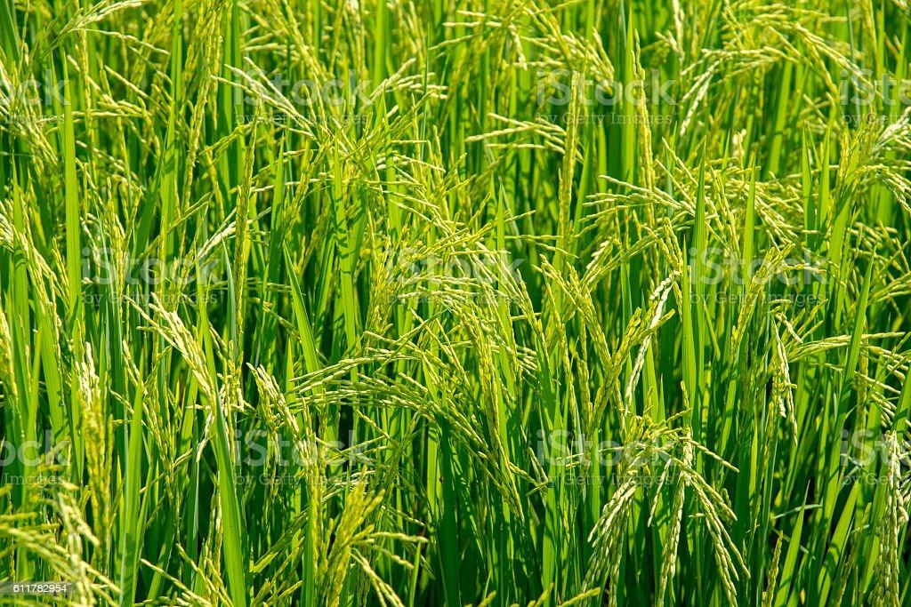 Vert champs de riz photo libre de droits