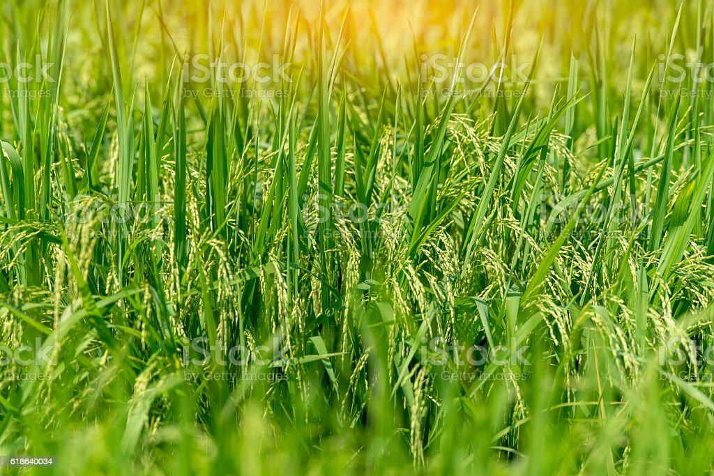 Green rice fields stock photo
