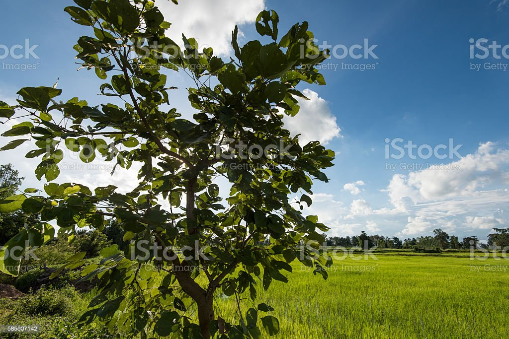 Green rice fields showing surviving native trees with blue sky stock photo