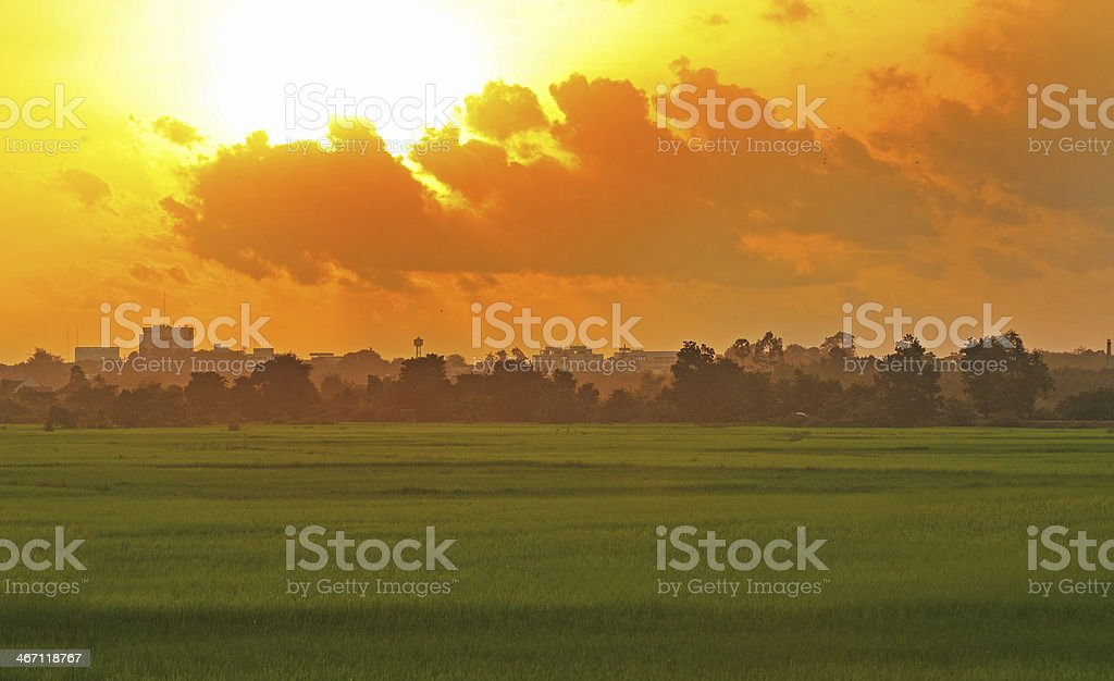 Green rice fild with evening sky royalty-free stock photo