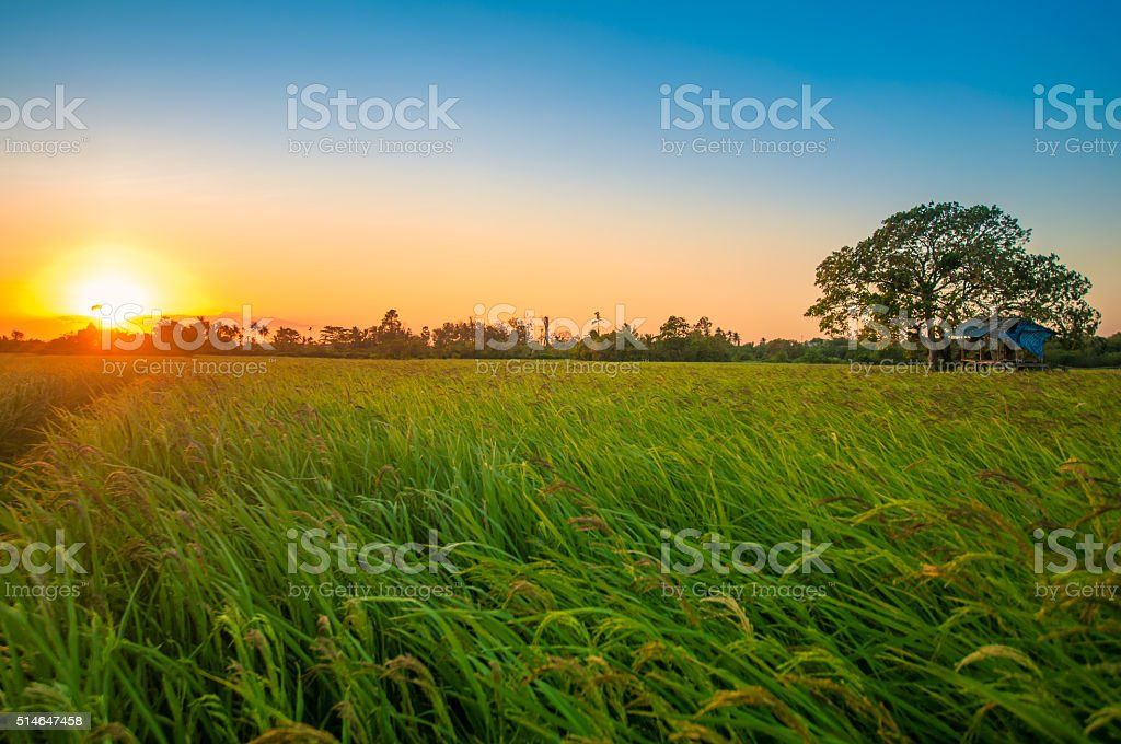 Green rice fild with evening sky stock photo