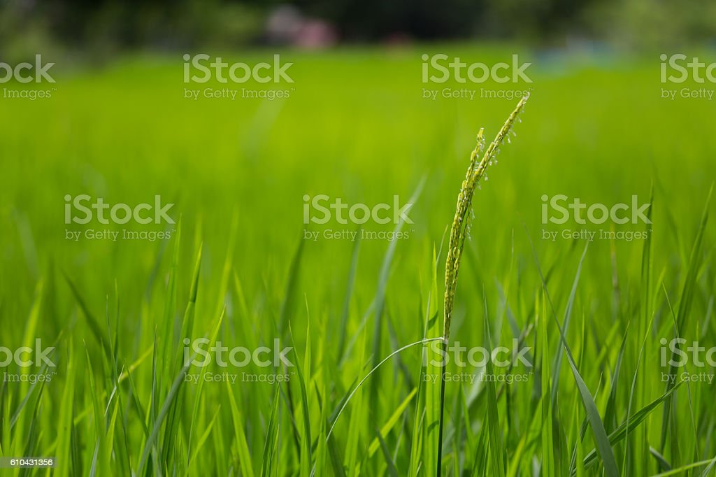 green rice growing raining season in laos stock photo
