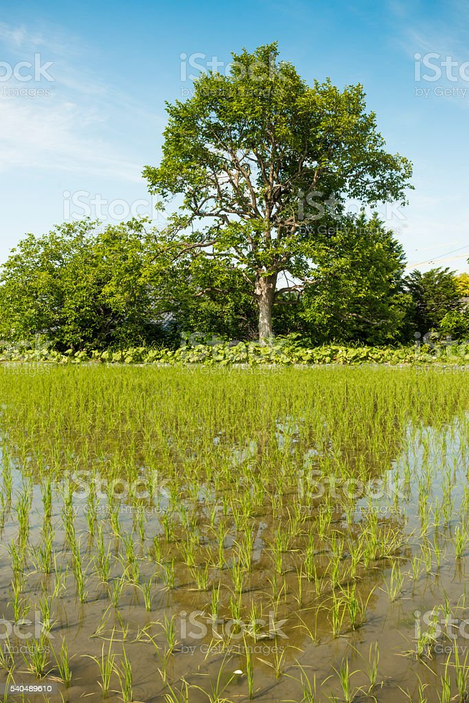 Green Rice Paddy Field Growing in rural Nagano Japan stock photo