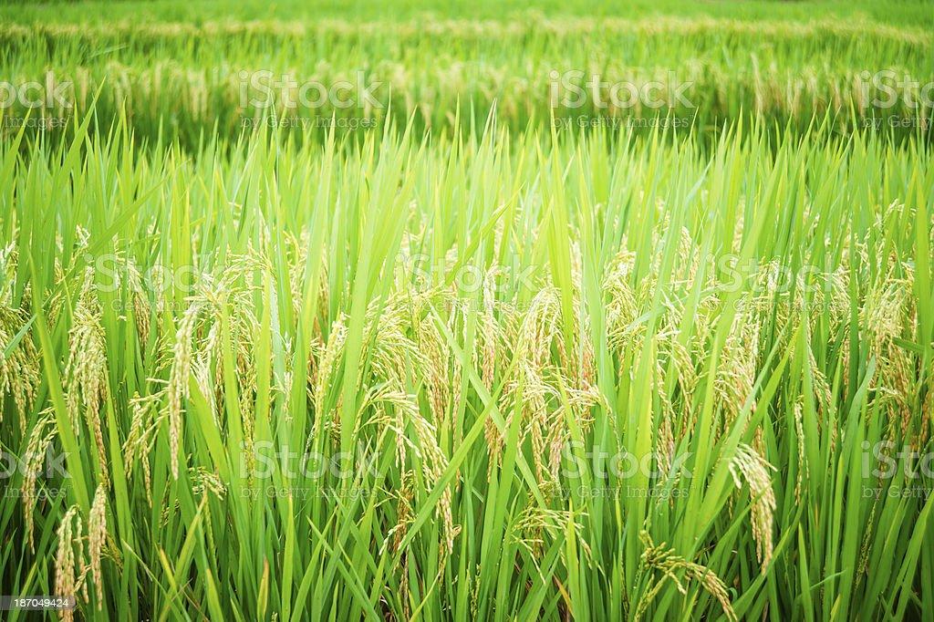 Green Rice Paddy royalty-free stock photo
