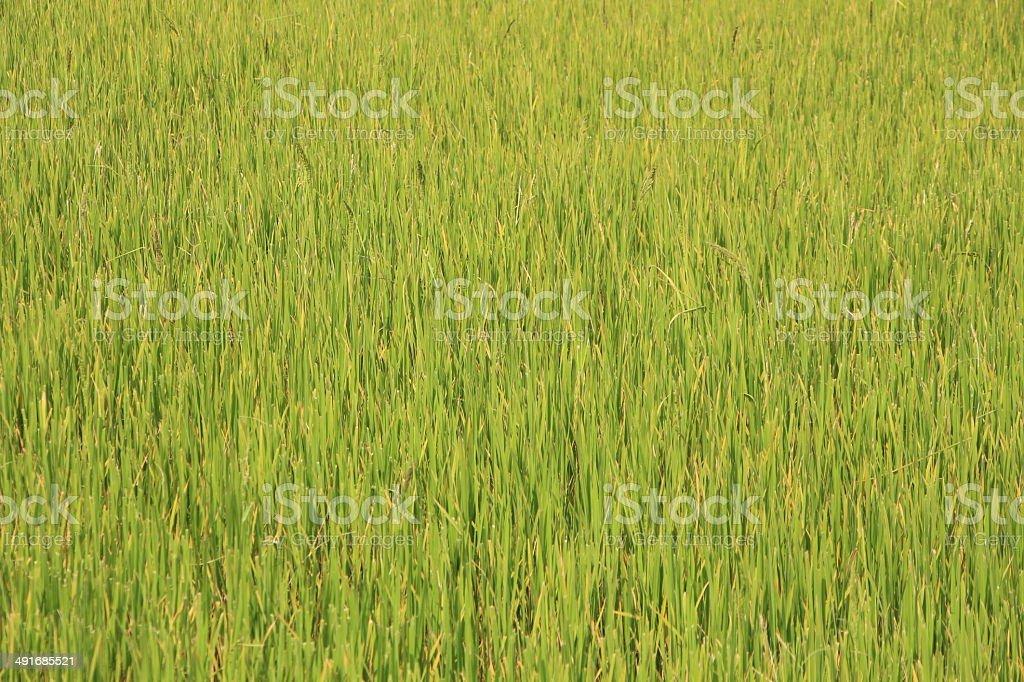 Зеленый рис. Стоковые фото Стоковая фотография