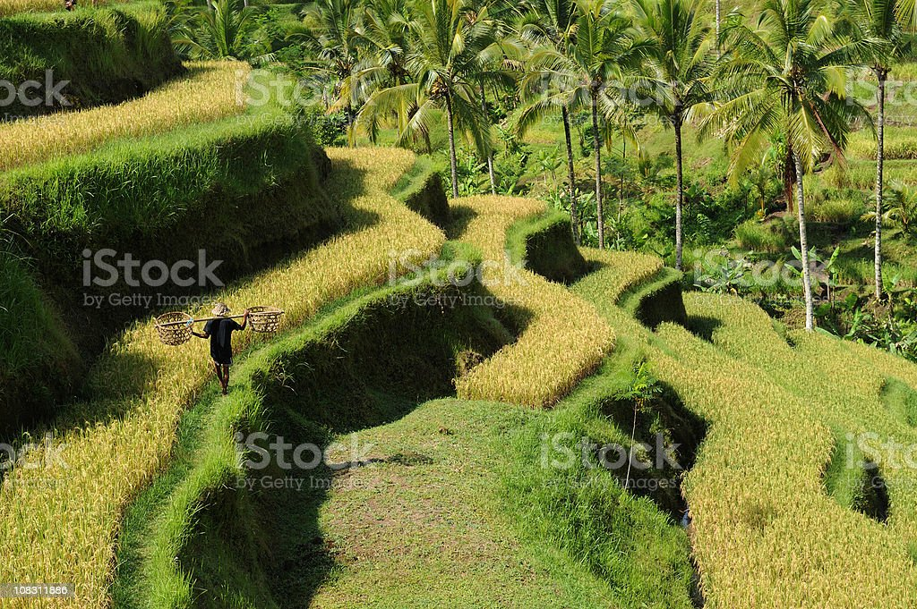 Green rice terraces at Bali stock photo