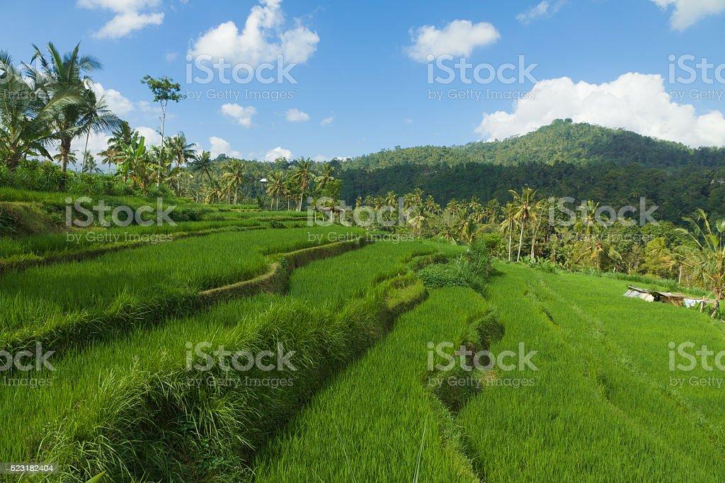 Green Ricefield Bali stock photo