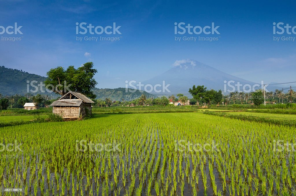 Green ricefield in Bali stock photo