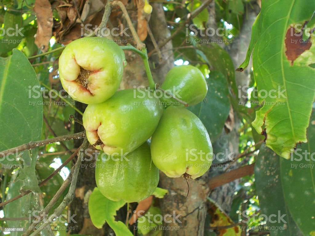Green rose apples stock photo