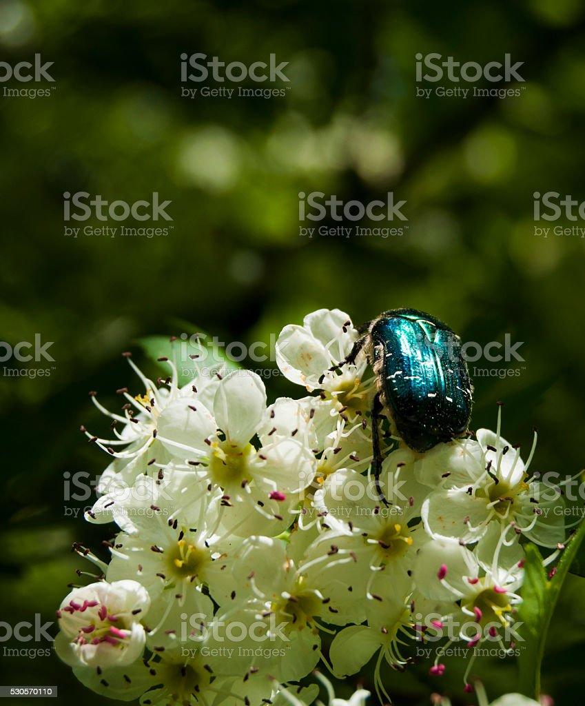 vert scarabée rose chafer alimentation sur une fleur ombelle blanc