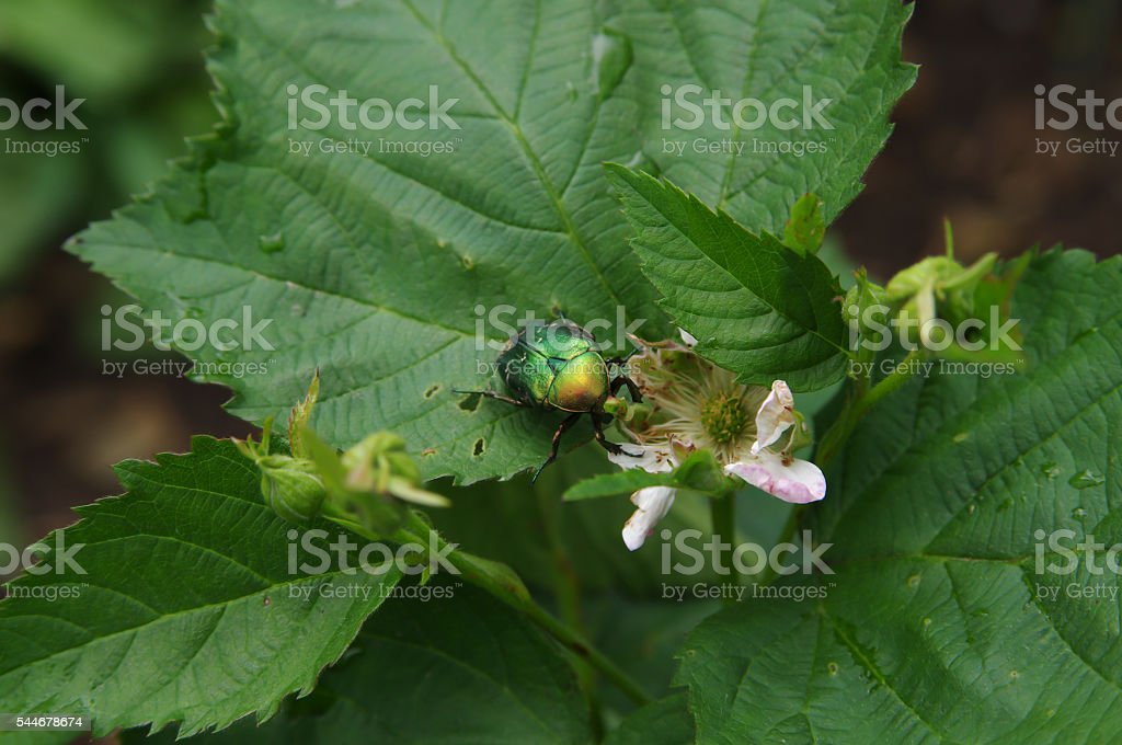 Green rose chafer beetle on a blackberry flower closeup stock photo