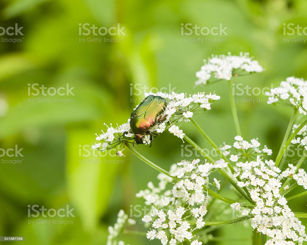 Green Rose Chafer feeding on white flowers macro, selective focus stock photo