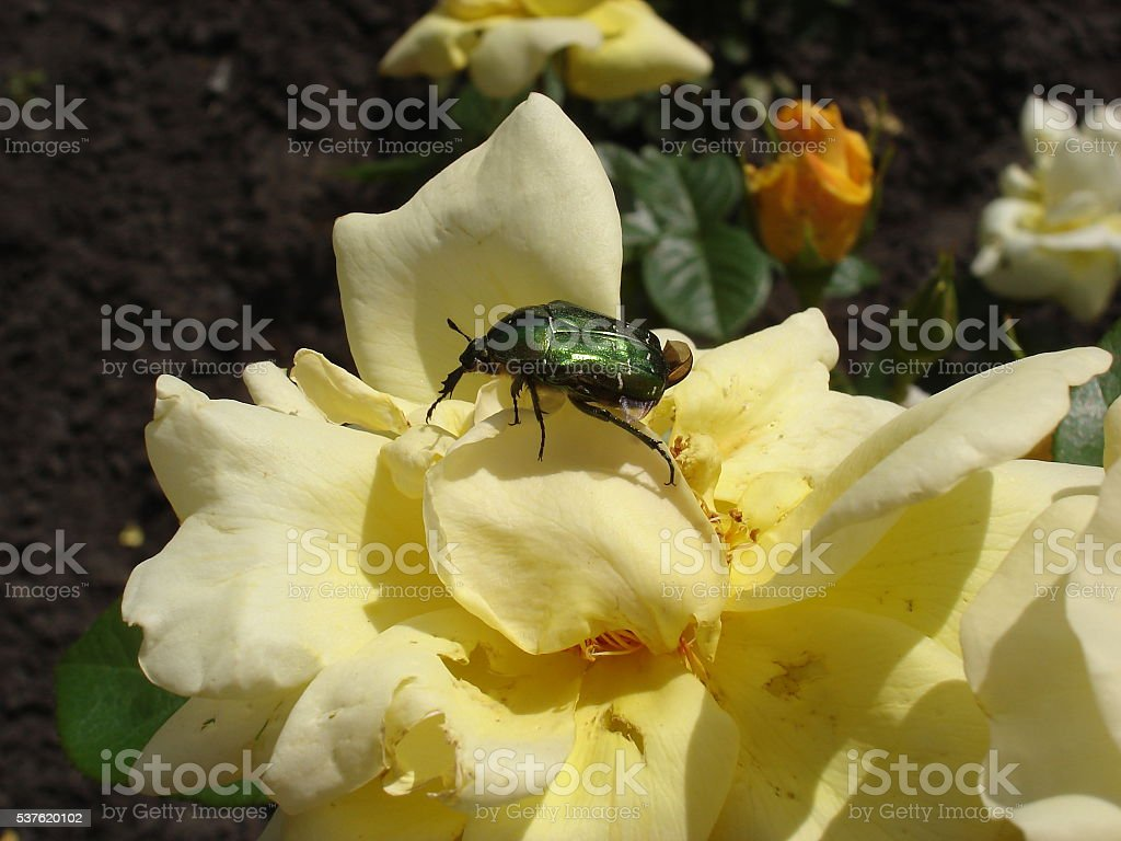 Green rose chafer on a yellow rose flower stock photo