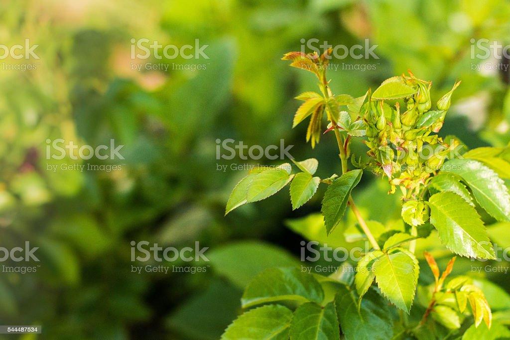 Green Rosebuds unopened stock photo