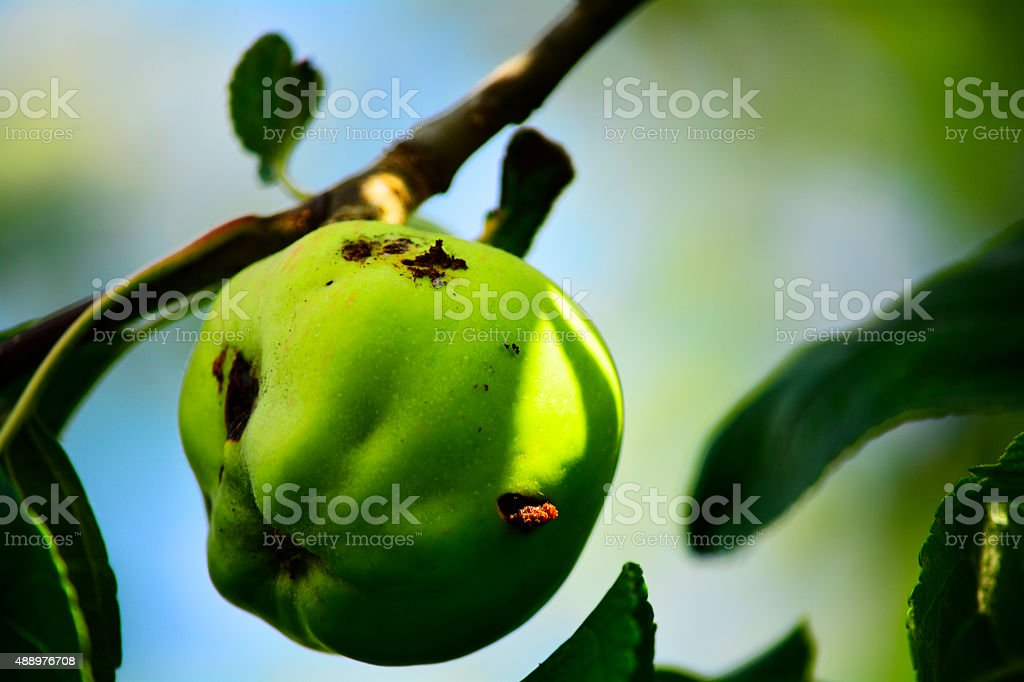green rotten apple on a branch stock photo