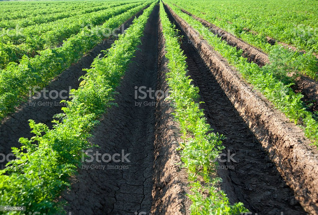 Green rows of carrot seedling on a field stock photo