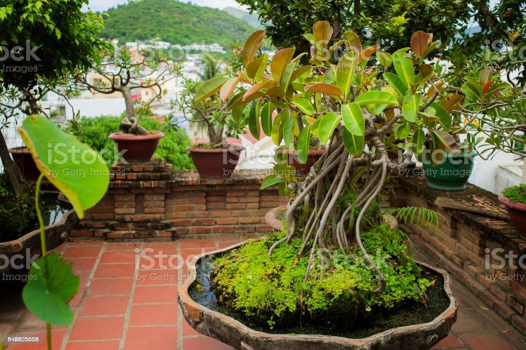 Green rubber plant pipal bonsai in the clay pot. Po Nagar, Nha Trang, vietnam stock photo