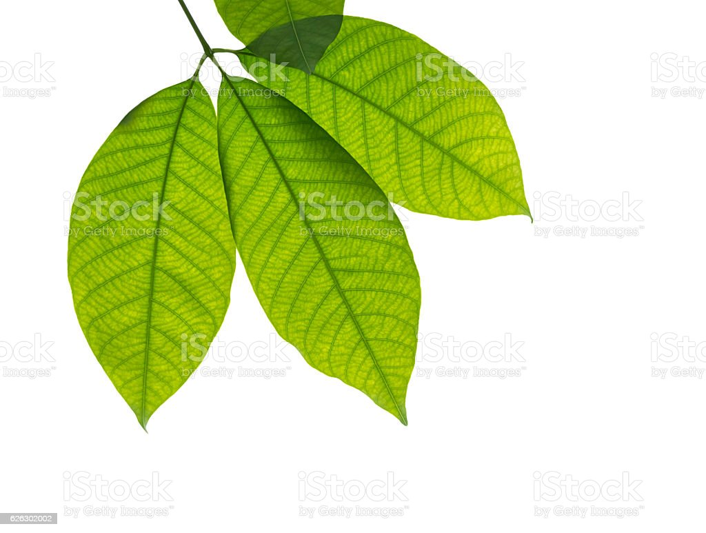 Green Rubber tree leaves stock photo