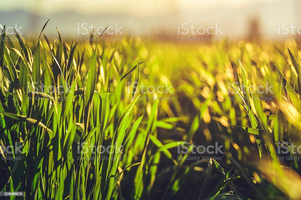 Green rye field stock photo