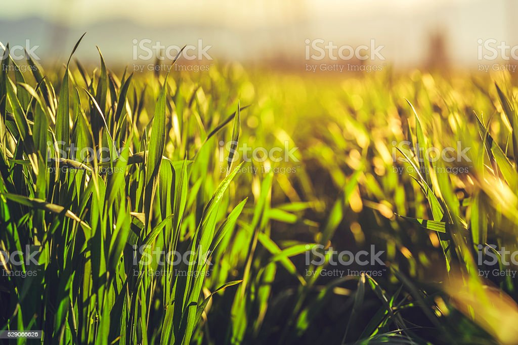 Green rye field stock photo
