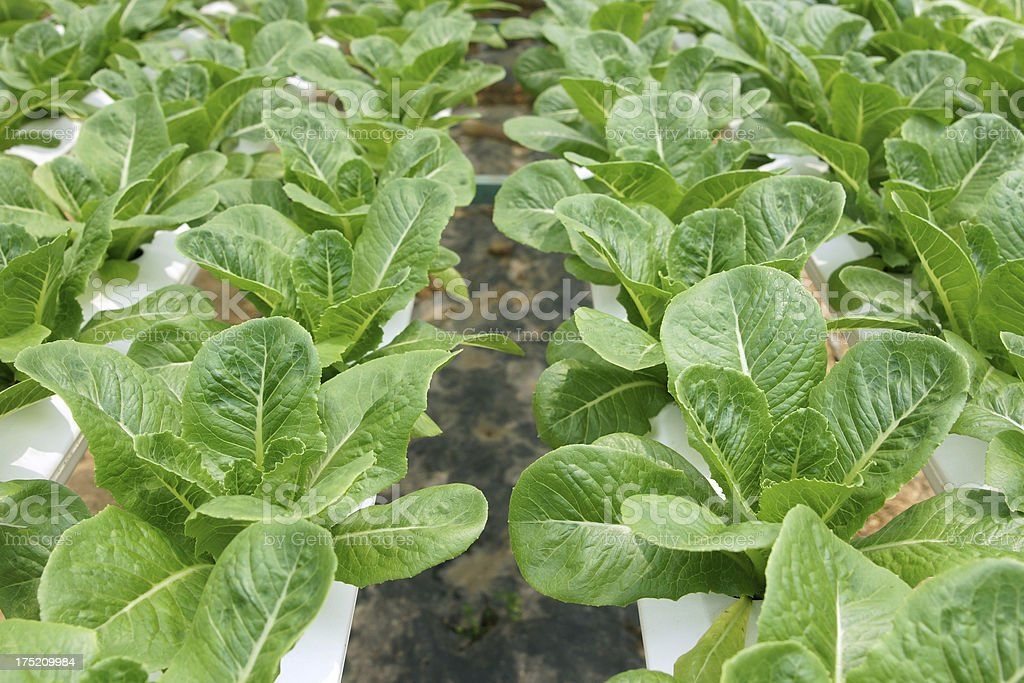 Green Salad Cos Lettuce Hydroponics Vegetable royalty-free stock photo