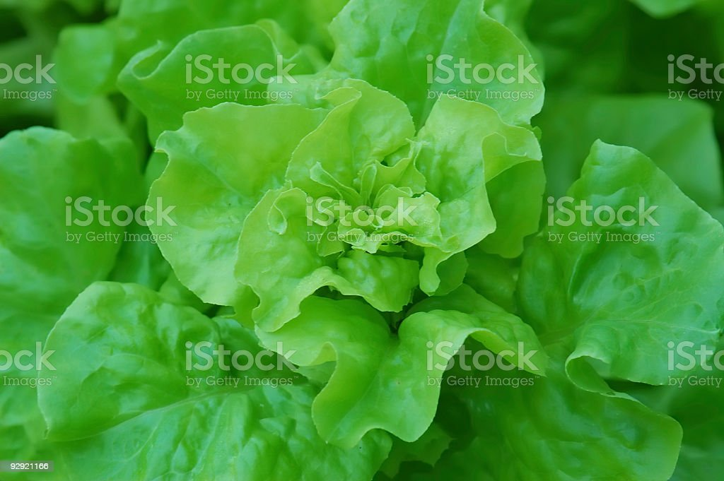Green salad on the bed royalty-free stock photo