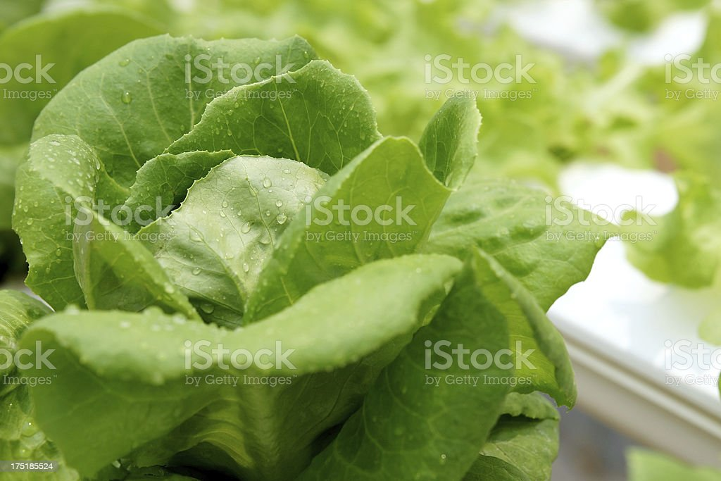 Green salad with drop of water royalty-free stock photo
